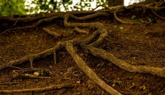 How to plant bare root tree