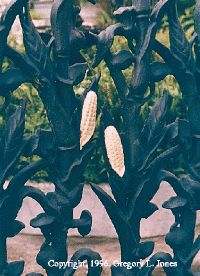 THE STORY OF THE CORNSTALK FENCE...A New Orleans Legend