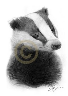BADGER pencil drawing print - 2 sizes - british wildlife art - artwork signed by artist Gary Tymon - Ltd Ed 50 prints only - animal portrait British Wildlife, Wildlife Art, Beaver Drawing, Badger Images, Badger Tattoo, Badger Illustration, Pencil Drawings Of Animals, Animal Heads, Artwork Prints