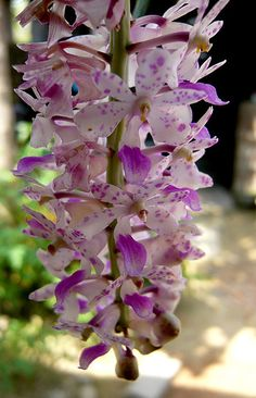 Orchid kopou | Miscellaneous Stuffs: Flower of Assam Kopou Phool picture