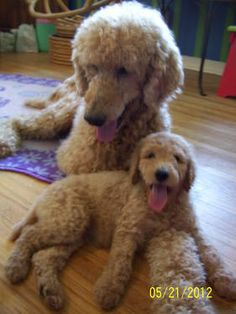 Standard Poodle in apricot