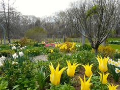 A garden of yellow tulips and daffodils blossom in this cottage style garden. Planting bulbs separately from other blooming shrubs allows the tulips and daffodils' beautiful blooms to be the focus and so they don't compete with other flowers.