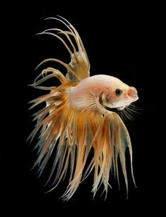 Gold betta fish