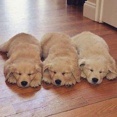 いいね!442件、コメント5件 ― Golden Retrieverrさん(@golden_associations)のInstagramアカウント: 「Poster by @instagram Cute sleepy :D Golden Retriever Double Tap and tag a friend below :) * * *…」