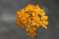 Epidendrum Pacific Ember   Epidendrum. Crucifix Orchids, Reedstem Orchid. Reed Stem Orchid or Reed Orchid. #orchid #epidendrum