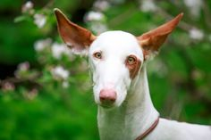 Ibizan Hound Dog with brown ears.. Click the pic for more #aww