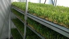 Crea joven oaxaqueña alimento sustentable para ganado