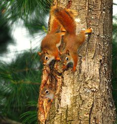 Baby Red Squirrels exploring a tree.