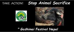 "Stop Animal Sacrifice "" Gadhimai Festival Nepal   https://www.facebook.com/pages/Stop-Animal-Sacrifice-Gadhimai-Festival-Nepal/1452353988337867?ref=ts&fref=ts"
