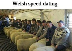 lovely welsh sheep