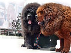 """simply-canine: """"Extreme breeding in Tibetan Mastiffs, aka why a Chinese zoo thought it could put a Tibetan Mastiff in a lion enclosure without anyone noticing something was amiss. Huge Dogs, Giant Dogs, I Love Dogs, Tibetan Mastiff Dog, Mastiff Dogs, Mastiff Mix, Dogue Du Tibet, Large Dog Breeds, Tier Fotos"""