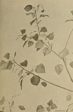 Drawing of a portion of a black poplar tree Beautiful Landscape Paintings, Poplar Tree, Anatomy For Artists, Rainy Days, Nice Things, Tattoo Inspiration, Art Lessons, Painting & Drawing, Sketching