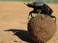 """Frank the dung beetle: """"Hey Chuck! Look at the view from up here! I'm on top of the world! I'm king of the mountain!""""Charlie the ant: """"Yeah. You're ballin'.""""  Why Dung Beetles Like to Chill on Poop Balls    Though the smell might dissuade you, balls of feces make superbly effective foot coolers.  Dung beetles eat feces. Everyone knows this. But here's something you didn't know: newly published research reveals that dung beetles can use sphe"""