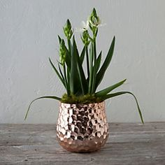 Star of Bethlehem, Copper Pot