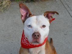 TO BE DESTROYED 11/17/14 -Brooklyn Center   DODGER - A1019935   MALE, BROWN / WHITE, PIT BULL MIX, 10 mos STRAY - STRAY WAIT, NO HOLD Reason NO TIME  Intake condition EXAM REQ Intake Date 11/07/2014, From NY 11205, DueOut Date 11/10/2014,