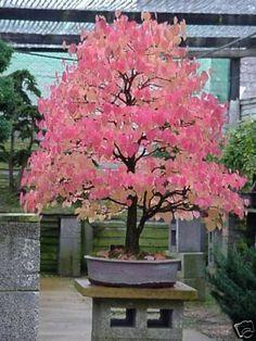 Japanese Katsura, Cercidiphyllum japonicum, Tree Seeds. $4,99, via Etsy.