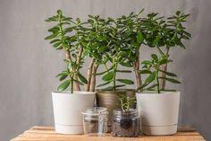 The Low Temperature for Jade Plants Sansevieria Trifasciata, Outside Plants, Jade Plants, Crassula Ovata, Sandy Soil, Clay Design, Flower Making, House Plants, Planter Pots
