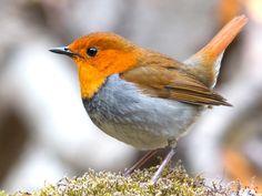 Robin, Oiseau, Robin Japonais, La Faune, Des Animaux