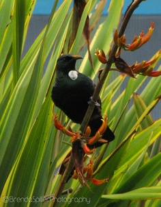 """Tui (male), dubbed by colonists the """"Parson Bird"""""""