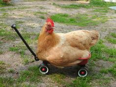 This chicken who is too big for this wagon. | 31 Animal Pictures You Cannot Explain