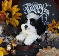 Cavachon And Cavapoo Puppies For Sale Cavapoo Puppies For Sale, Cavachon Puppies, Cute Pictures, Dogs, Doggies, Cute Photos, Pet Dogs