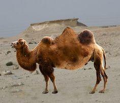 The Qatari three-humped camel