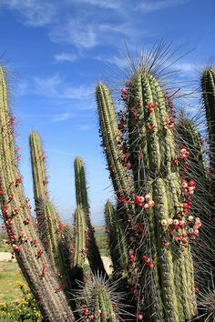flowering desert, Coquimbo Region, Chile