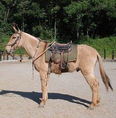 """""""Tornado""""     Cortesía: HARAS RED HORSE, Ibiúna/SP (Brasil)."""