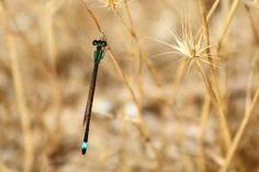 Fotos de Aves. Ischnura senegalensis