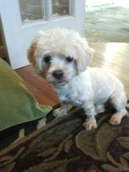 Spike is an adoptable Maltese Dog in Lake Ronkonkoma, NY. Spike is a tiny little bundle of cuteness. He's very well behaved, friendly and good with other dogs. He's definitely a lapdog! He's about 2 y...
