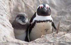 Penguin Peeking picture