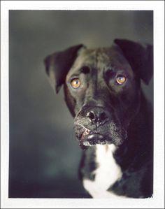 Duke. Camera: Horseman 4x5 field camera. Film: Polaroid 669. (dog photography)