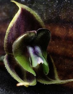 Miniature-orchid / Micro-orquidea: Lepanthes manabina - Found in Ecuador. Rare Flowers, Exotic Flowers, Wild Flowers, Beautiful Flowers, Miniature Orchids, Miniature Plants, Exotic Plants, All Plants, Growing Orchids