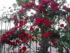 Rosa trepadora roja