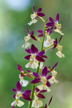 Calanthe orchids
