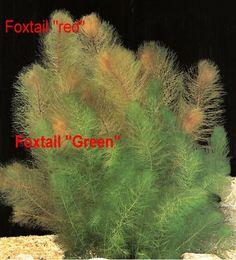 Red foxtail aquatic plant