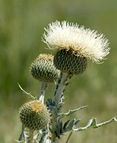 Platte thistle (Cirsium canescens), Sandhills, NE.