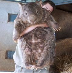 World's oldest wombat is super cute, super HUGE! I wanna cuddle a wombat! Funny Tumblr Posts, Tumblr Stuff, Wombat, Happy Birthday Patrick, Funny Memes, Hilarious, Laugh Out Loud, The Funny, Cute Animals
