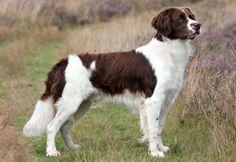 Drentsche Patrijshond / Dutch Partridge Dog