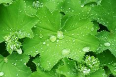 Find Water Drops On Leafs Ladys Mantle stock images in HD and millions of other royalty-free stock photos, illustrations and vectors in the Shutterstock collection. Water Drops, Dream Garden, Mantle, Plant Leaves, Photo Editing, Herbs, Stock Photos, Flowers, Fjord