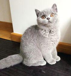 Gato Grande, Cattery, British Shorthair, Animals, Factory Farming, Gatos, Animales, Animaux, Animal