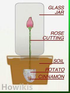 Prapogating a rose