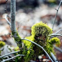 New #life #thrives on #dead #dry #wood at the #forest during #spring captured in #color with #Nikon #d5200 #f1point4 #f1p4 #wideaperture #wideaperturephotography #shallow #dof #depthoffield #shallowdepthoffield