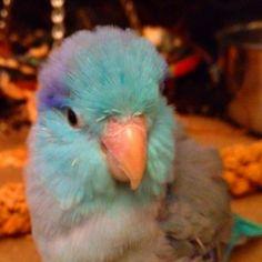 43 Best Parrotlets Images Parakeets Parrots Beautiful Birds