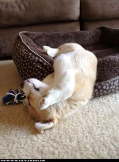 Corgi puppy Parker fell asleep with his rope toy