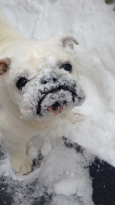 Cute little snow covered Bulldog! Cute Puppies, Cute Dogs, Dogs And Puppies, Doggies, Cute Baby Animals, Animals And Pets, Funny Animals, Cute Bulldogs, English Bulldog Puppies