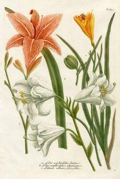 Lilio asphodelus luteus