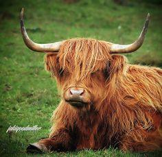Yak relaxed...ummm, Scottish Highland bull.  Not a yak.  Cute though :).