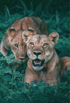 Lionesses under cover in the brush.