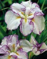 Japanese iris, Iris ensata, these plants do well in moist, acidic soil and clay soil. Flower Garden, Bloom, Alpine Plants, Plants, Beautiful Blooms, Cool Plants, Clay Soil Plants, Clay Soil, Planting Herbs